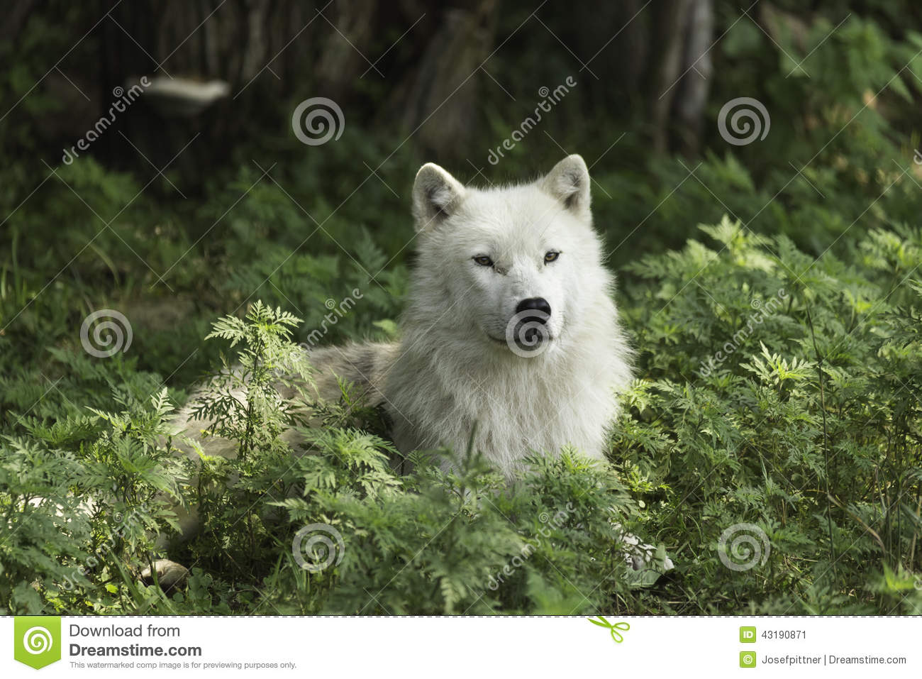 A lone Arctic wolf resting in a shaded area