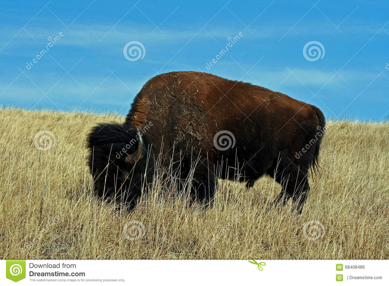 Lone Bison Buffalo Bull in Custer State Park