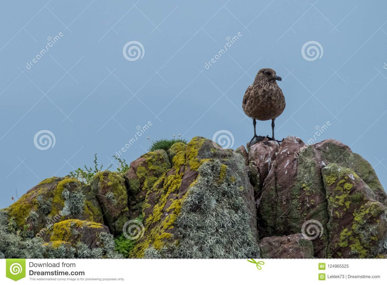 Lone brown seagull stands on a rocks covered in colourful lichen. Photographed on the North Coast 500 driving route in Scotland