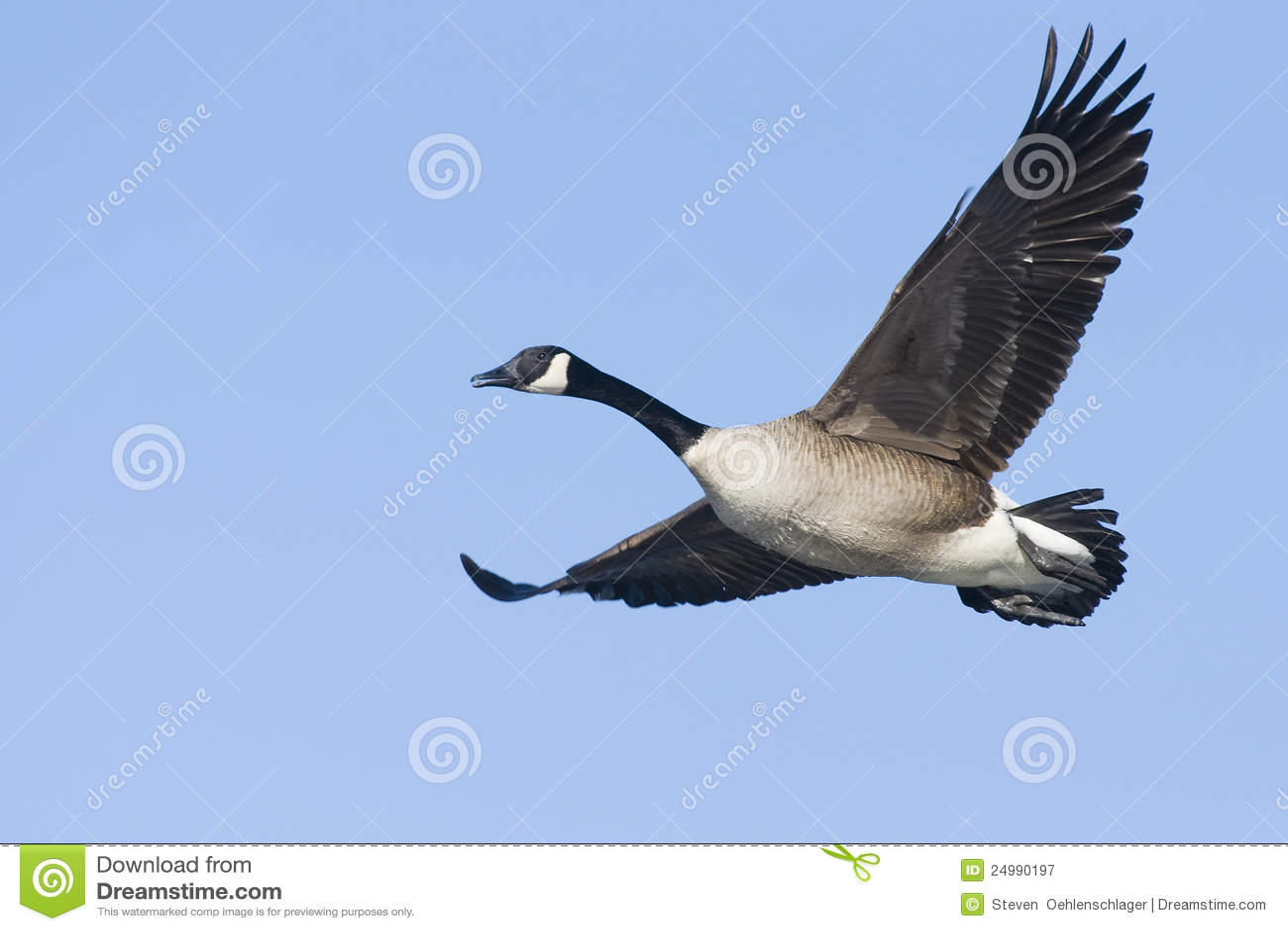 Lone canada goose stock image image of canadas canada 24990197 lone canada goose biocorpaavc