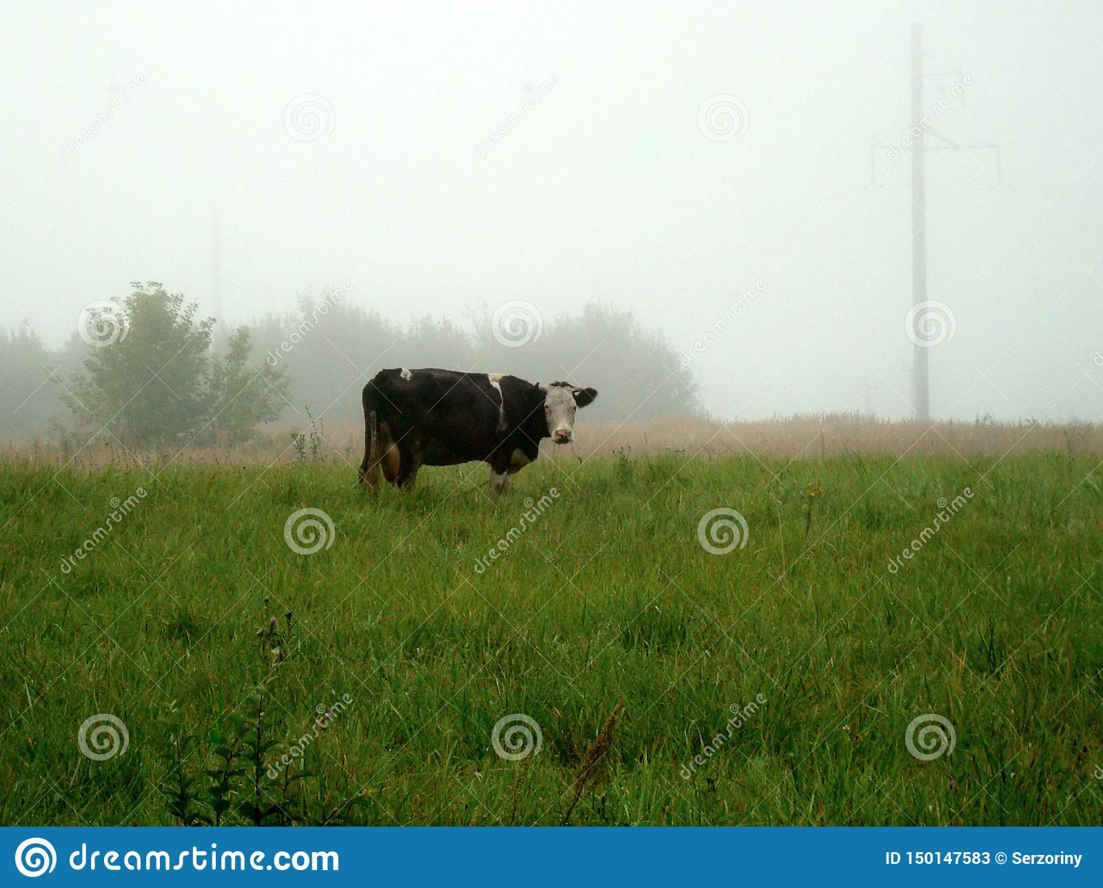 A lone cow grazes on a green meadow on a foggy morning
