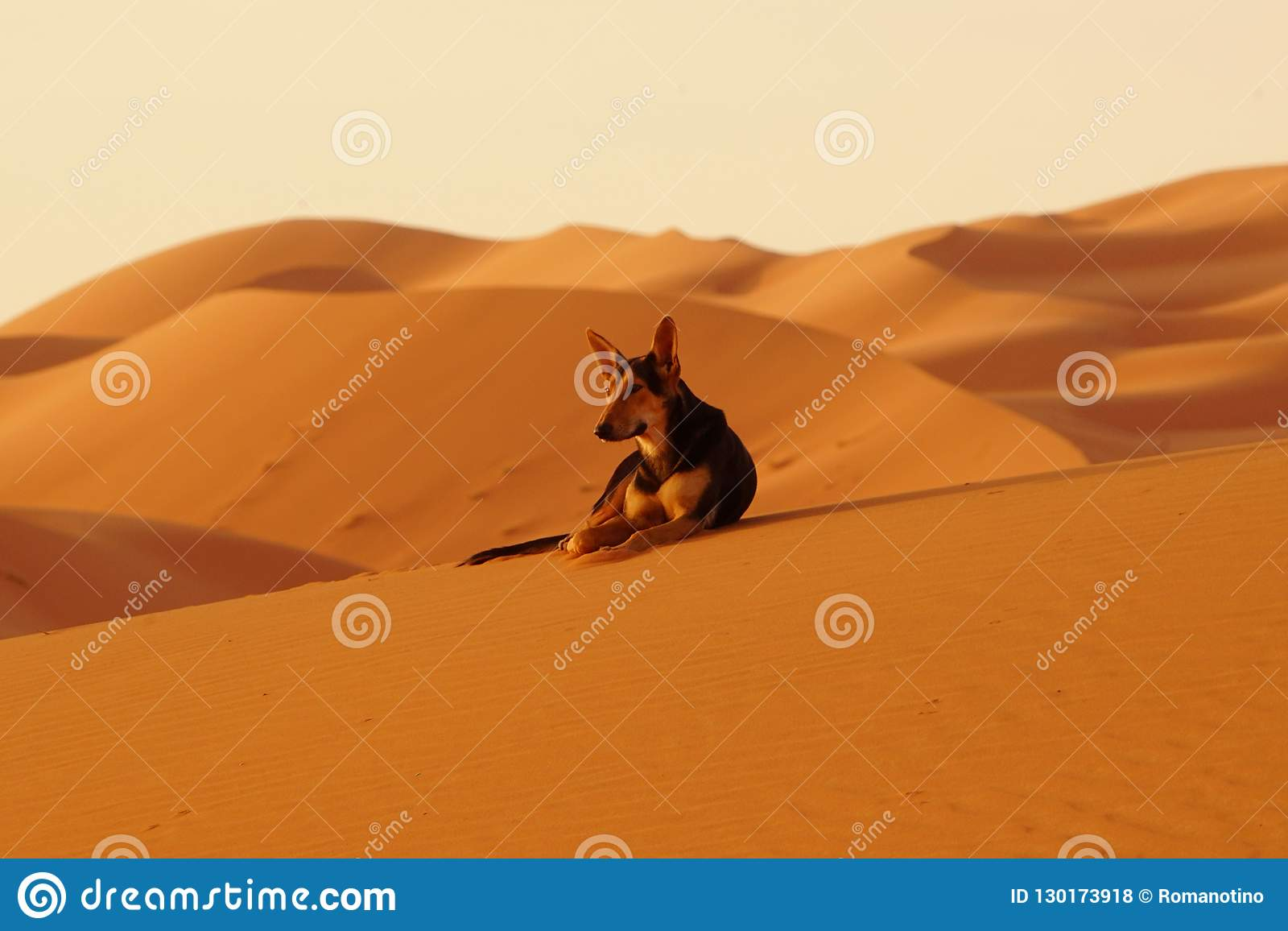 The lone dog in the ERG desert in Morocco