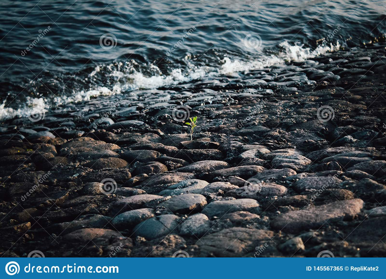 A lone green sprout on the gray stones at the water`s edge. Gray and black stones on the shore. Wave on the stone shore. Sprout am