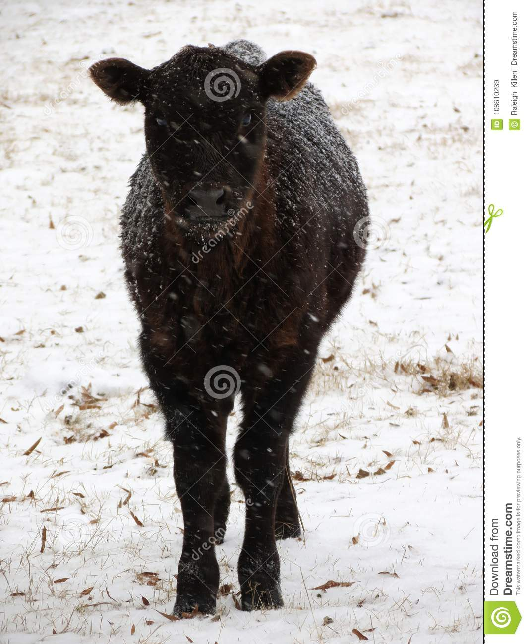 Lone calf stares deeply through the snow storm