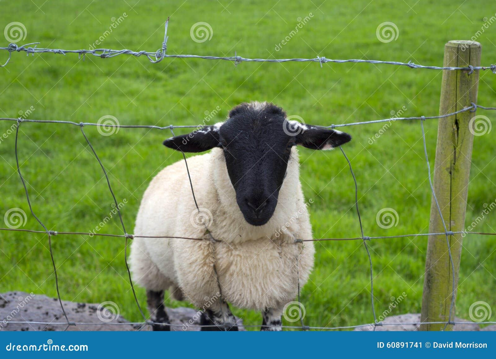 Lone irish sheep