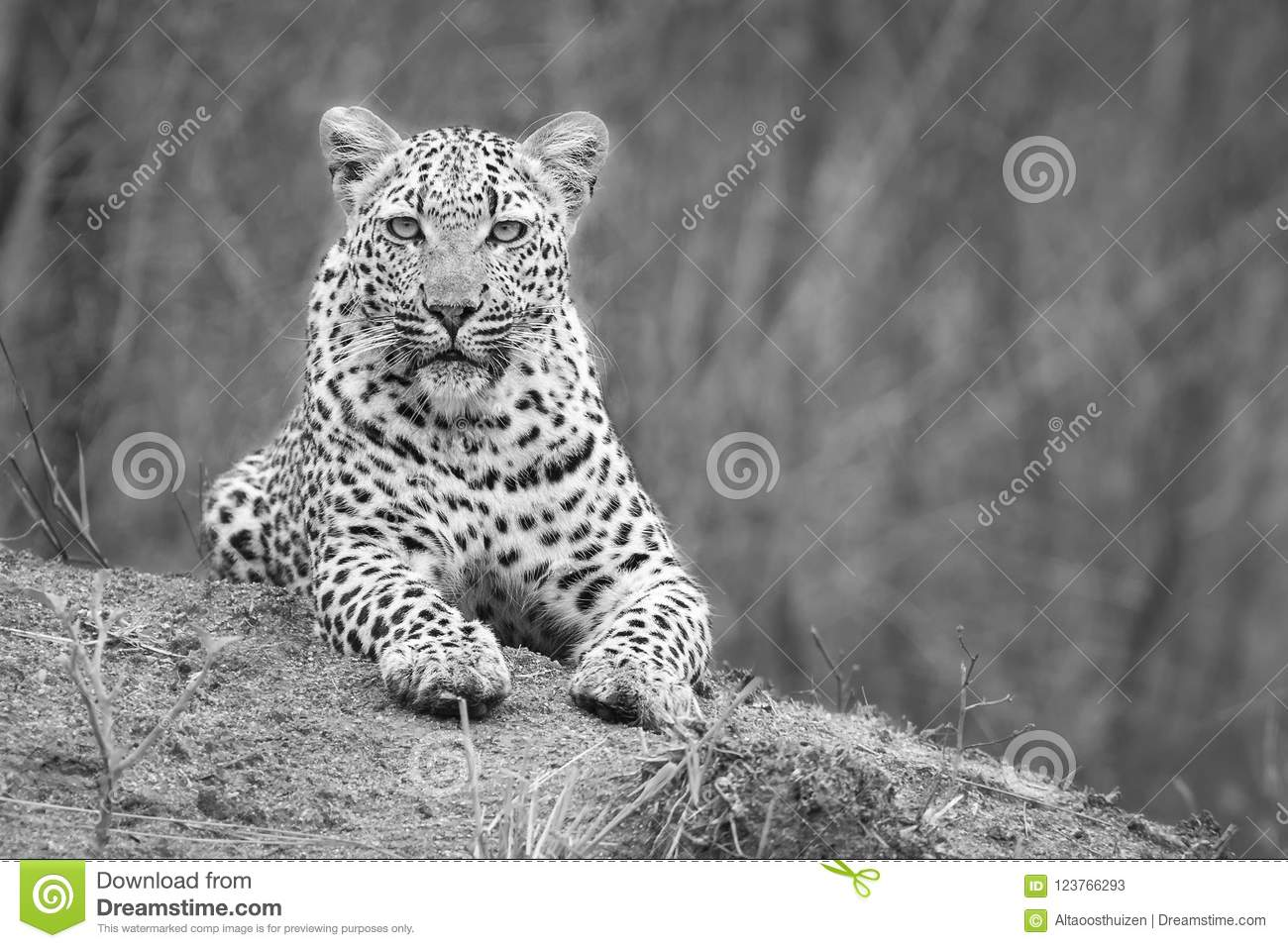 Lone leopard lay down to rest on anthill in nature during daytime artistic conversion