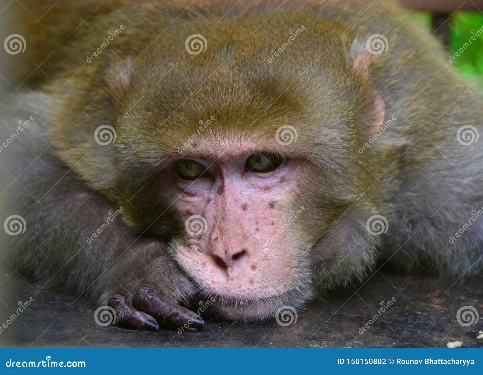 A lone macaque monkey portrait