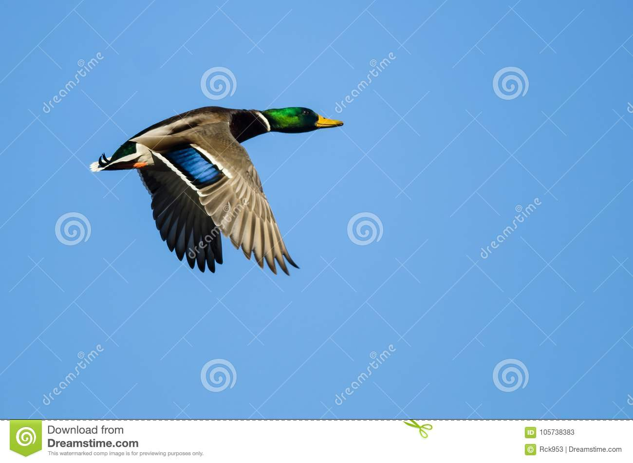 Lone Mallard Duck Flying In A Blue Sky Stock Image Image Of Flying