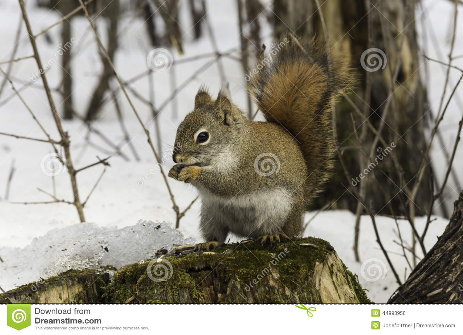 lone squirrel in a winter scene stock photo image 44893950