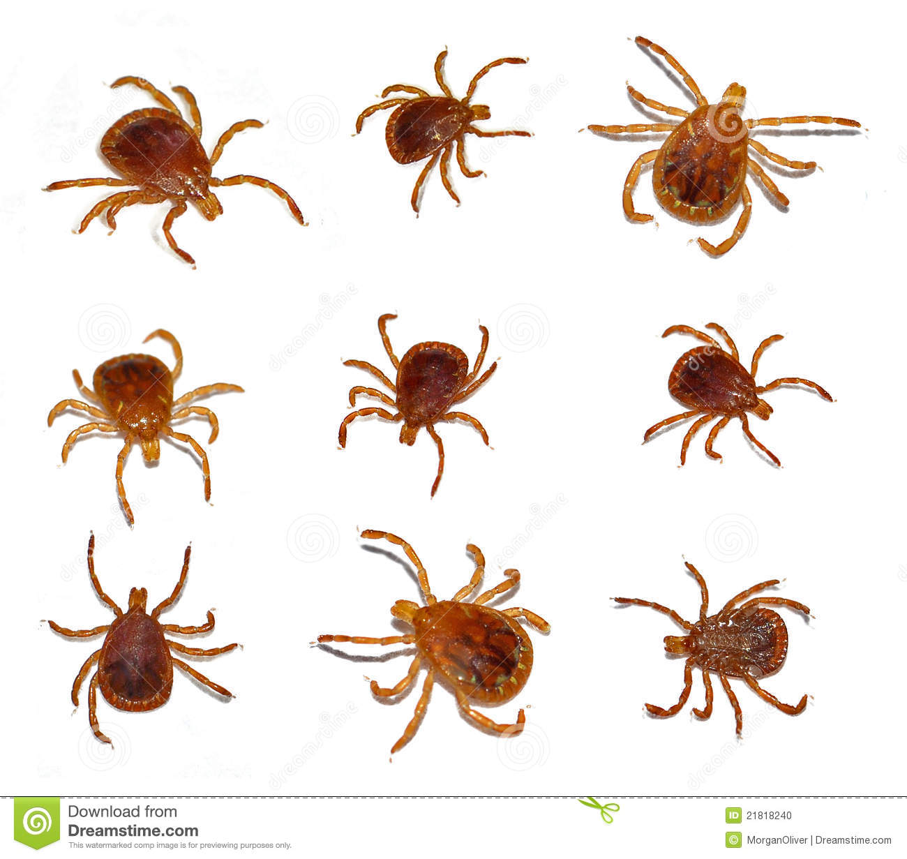 Lone Star Tick Insect Stock Photo Image 21818240