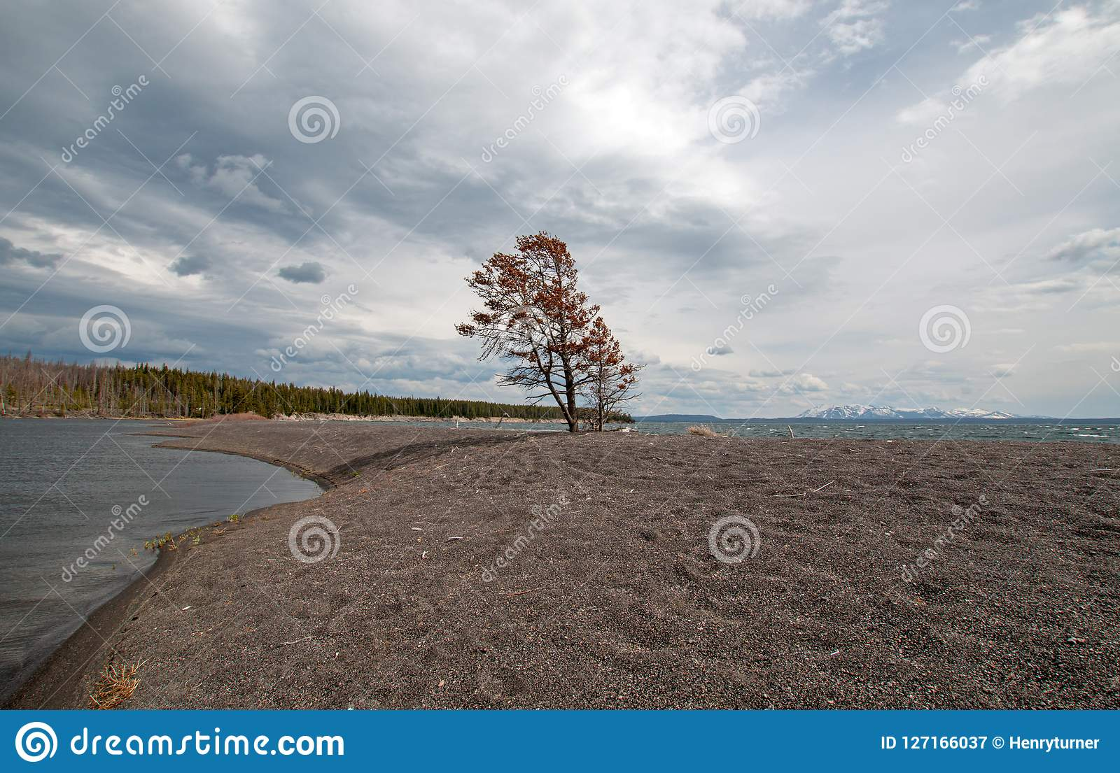 acf04bce8693c Lone tree on sandbar called Hard Road to Follow on the banks of Yellowstone  Lake in