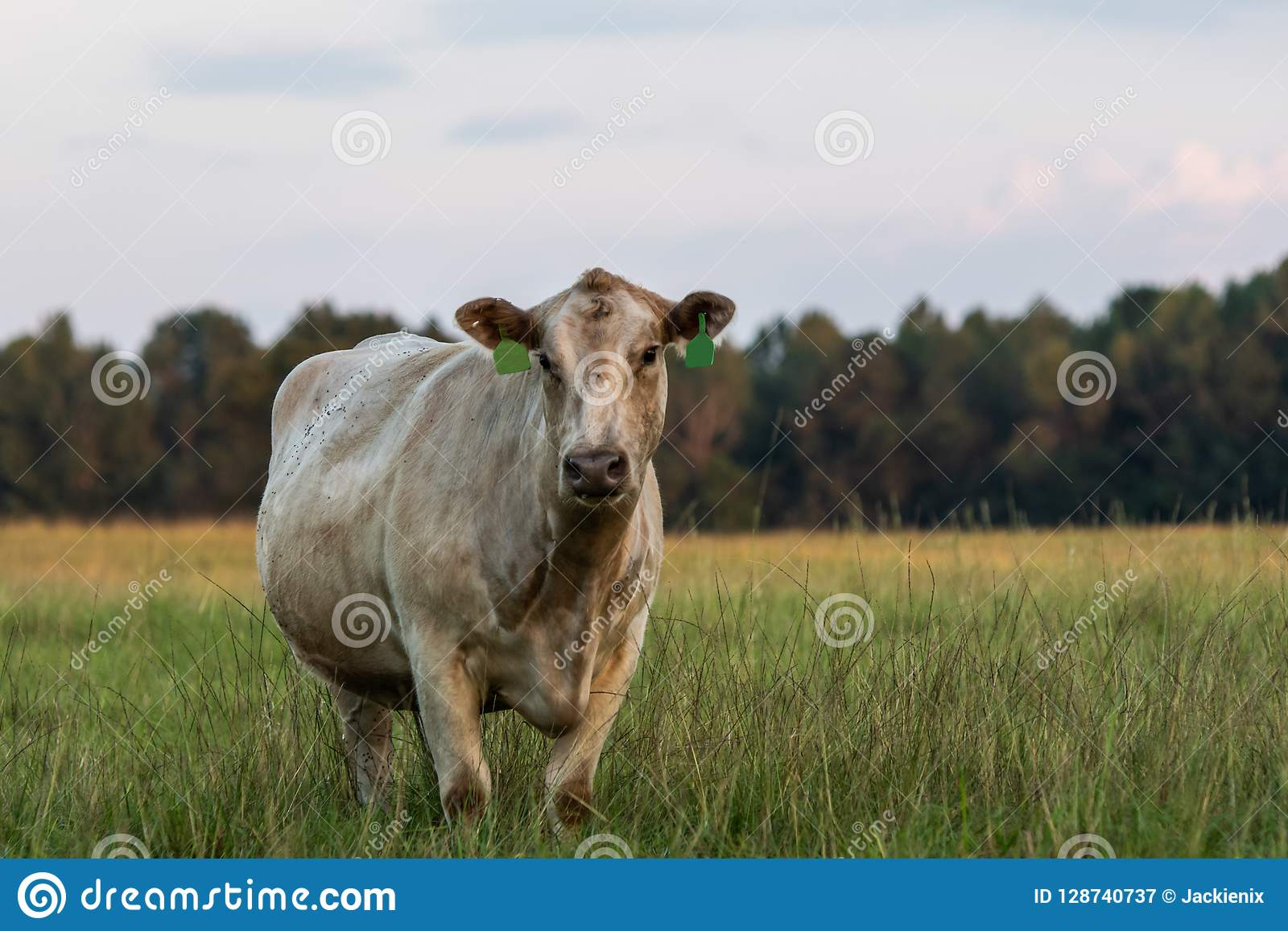 Lone white crossbred cow in tall pasture