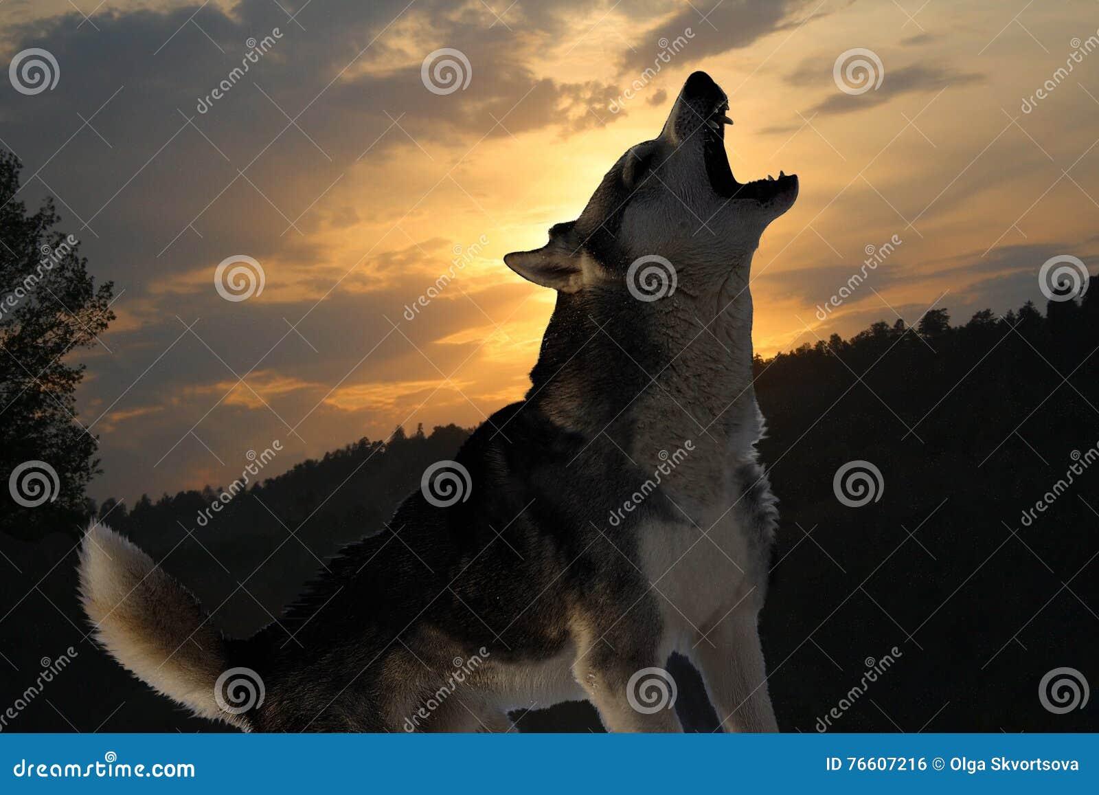 Lone wolf howls at sunset stock photo  Image of sadness