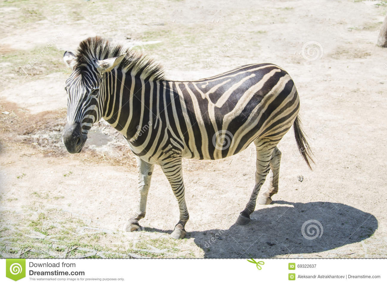 A lone Zebra walking in the Savannah