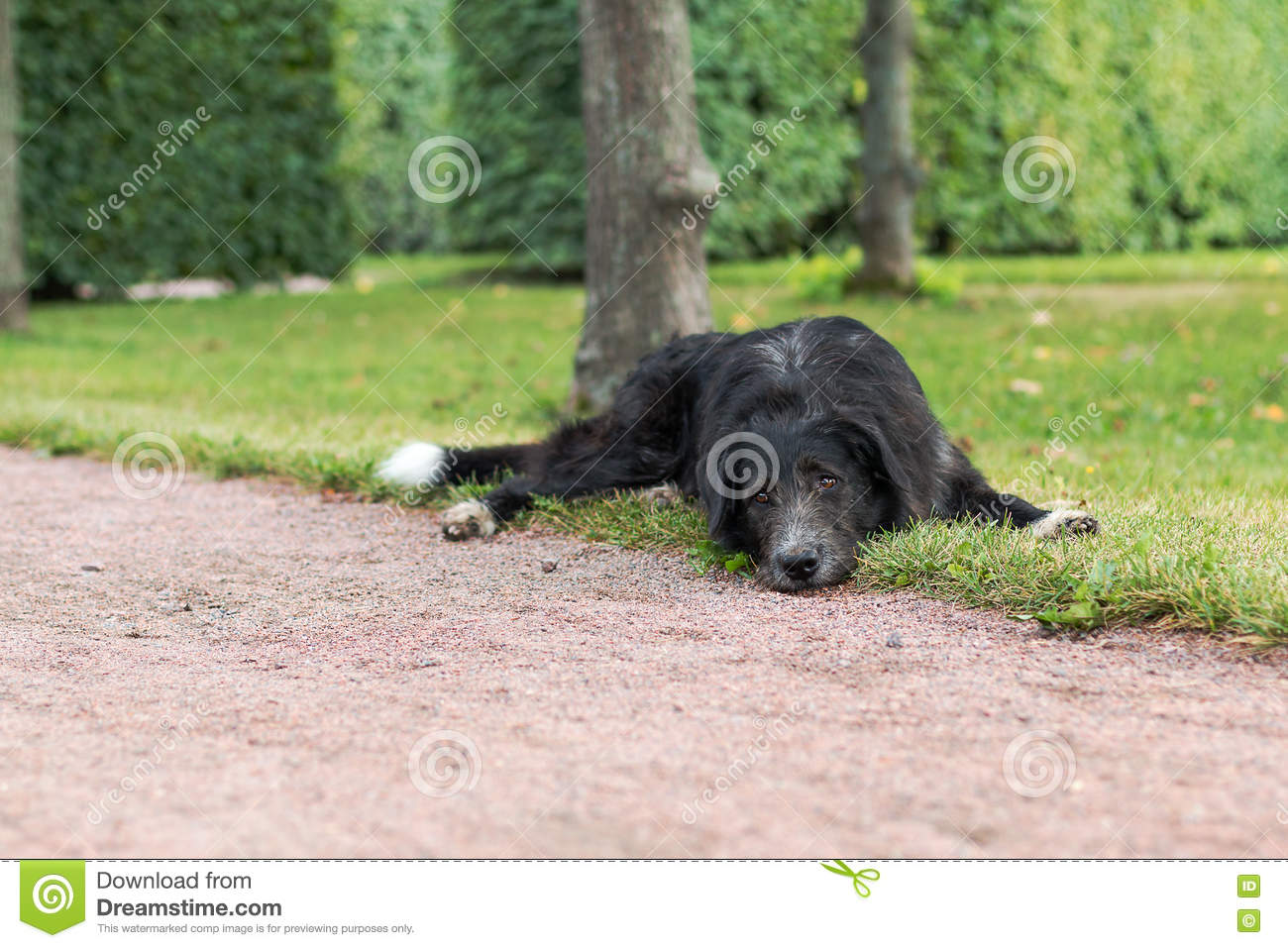 Download Lonely Black Dog With Sad Eyes Is Laying And Waiting Someone In The Park. Stock Image - Image of alone, pane: 75060443