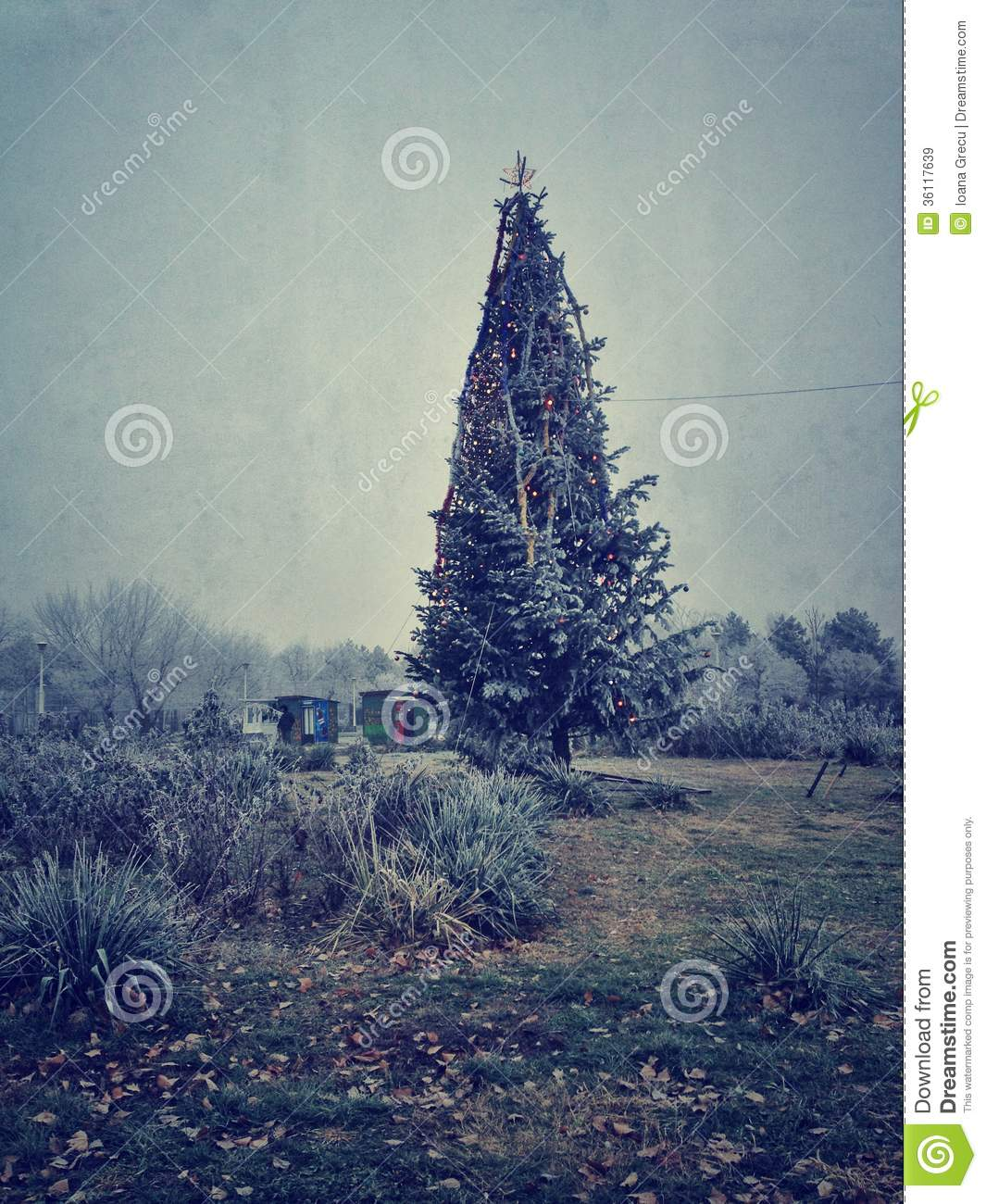 Christmas Tree Fir