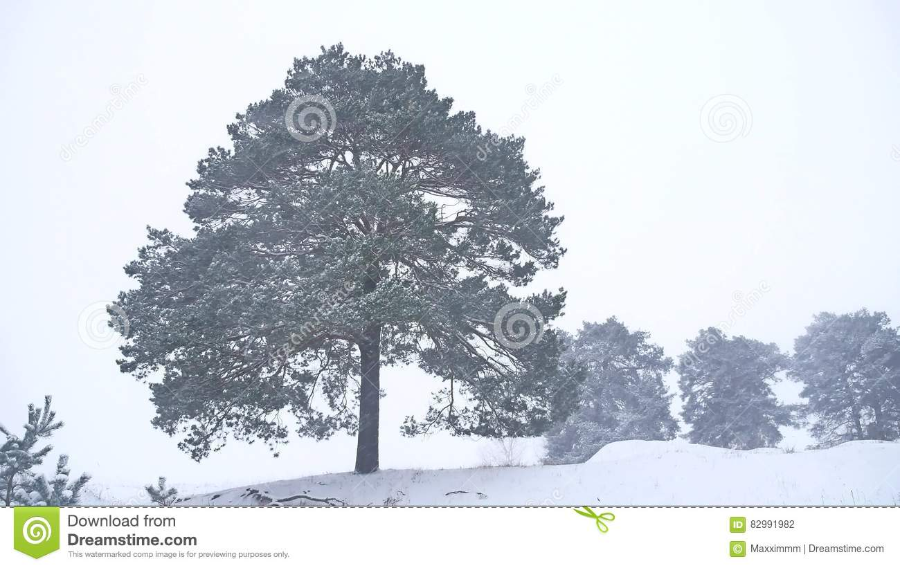 Lonely Christmas Tree Pine Grow In Winter Snow Storm Nature Landscape Forest