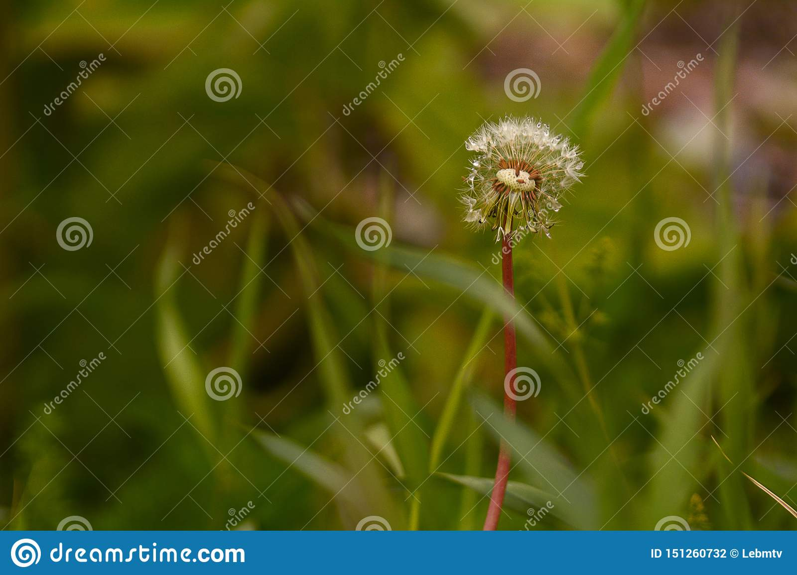 Lonely dandelion in the grass