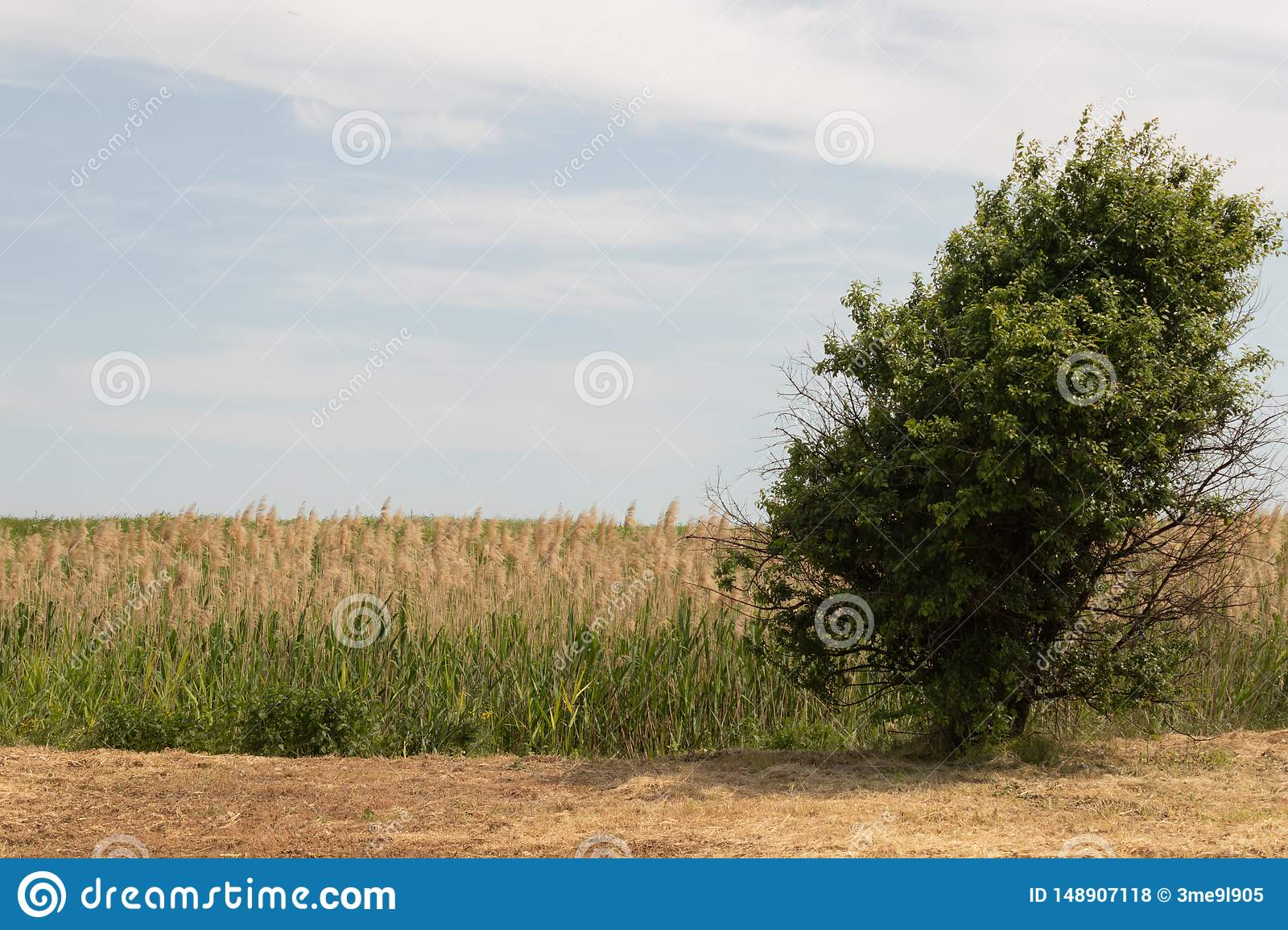 A lonely growing tree in the middle of a field in the background is a hall