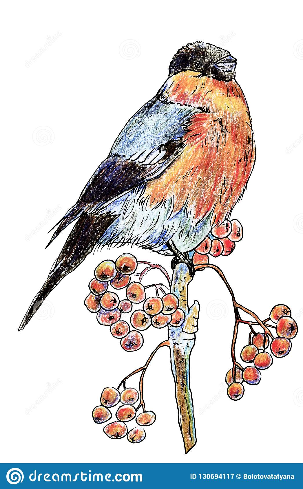 Lonely isolated bird bullfinch with black head and red-bellied winter sitting on a branch with berries of mountain ash, drawn with