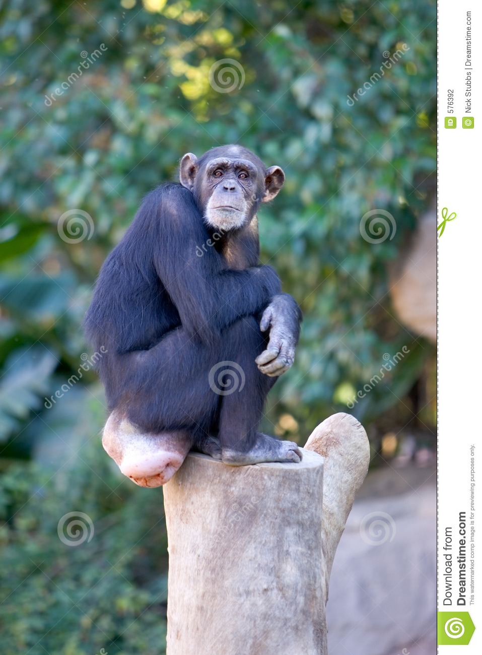 Lonely monkey sitting on top of a large tree trunk