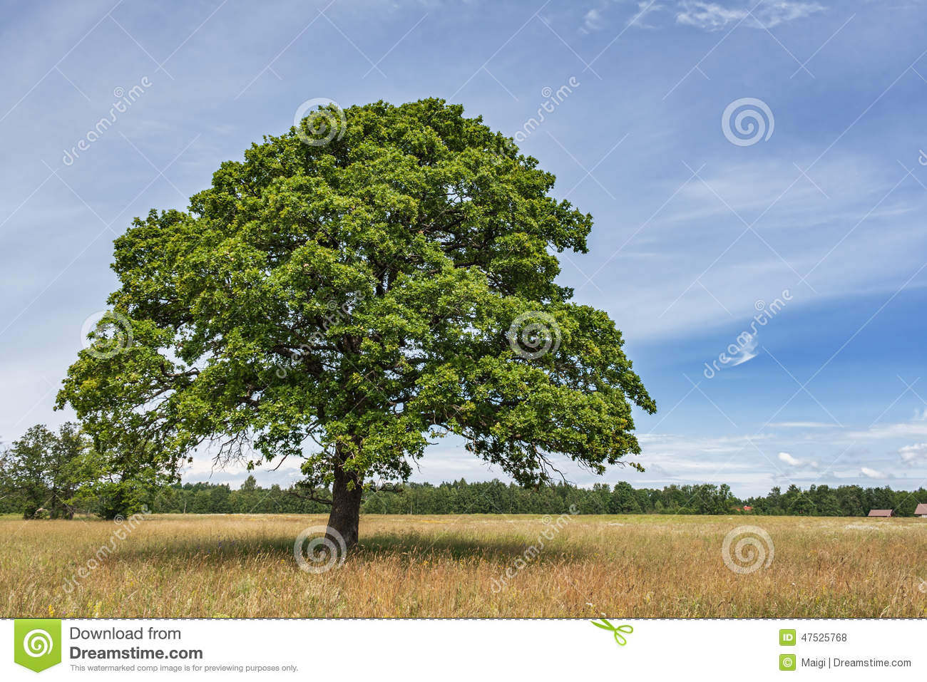 Download Lonely Oak Tree stock photo. Image of natural, green - 47525768