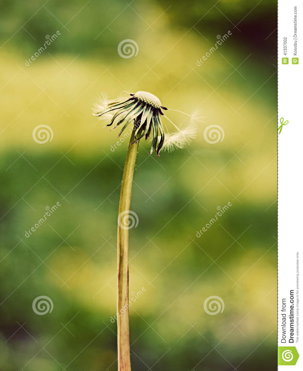Lonely Old Dandelion Stock Photo. Image Of Luck, Change