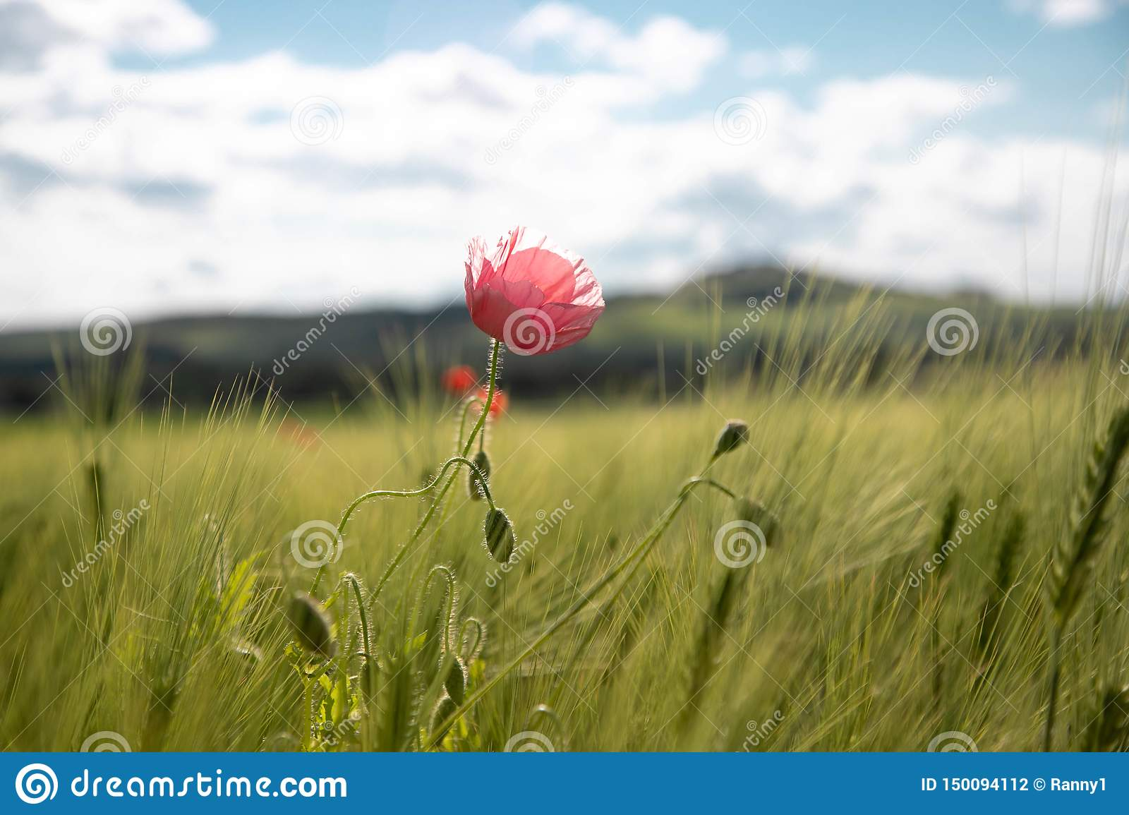 A lonely pink poppy flower in a springtime green field of rye ears and wheat against a blue sky with clouds on a sunny day