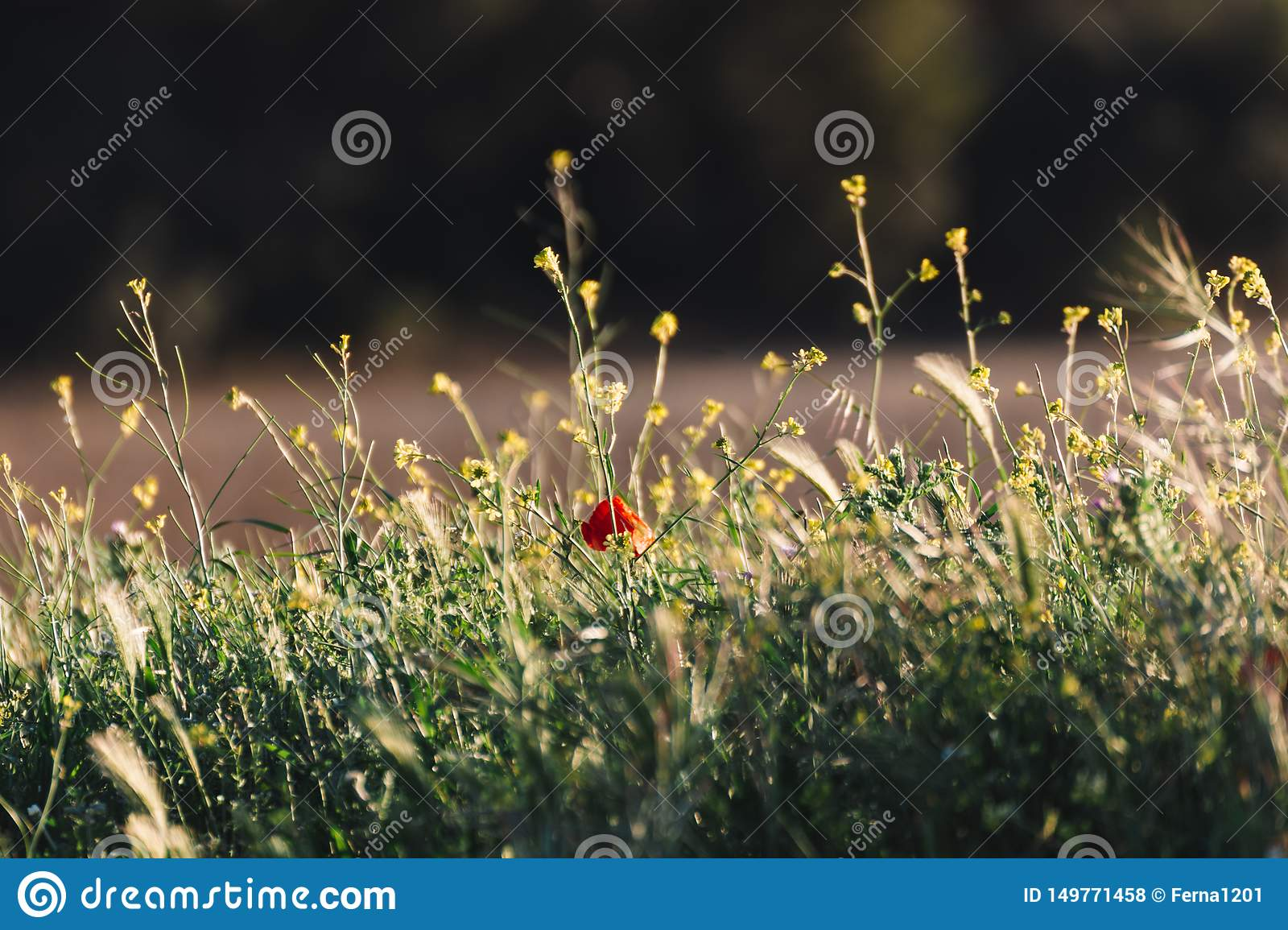 Lonely poppy that stands out in the wild flowers on a golden sunset in the background. Typical spring and summer background