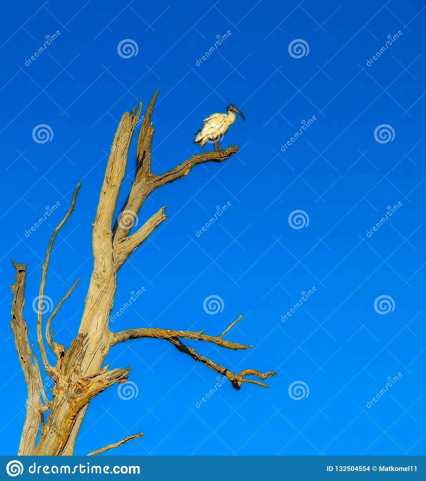 Lonely White Ibis bird in the tree