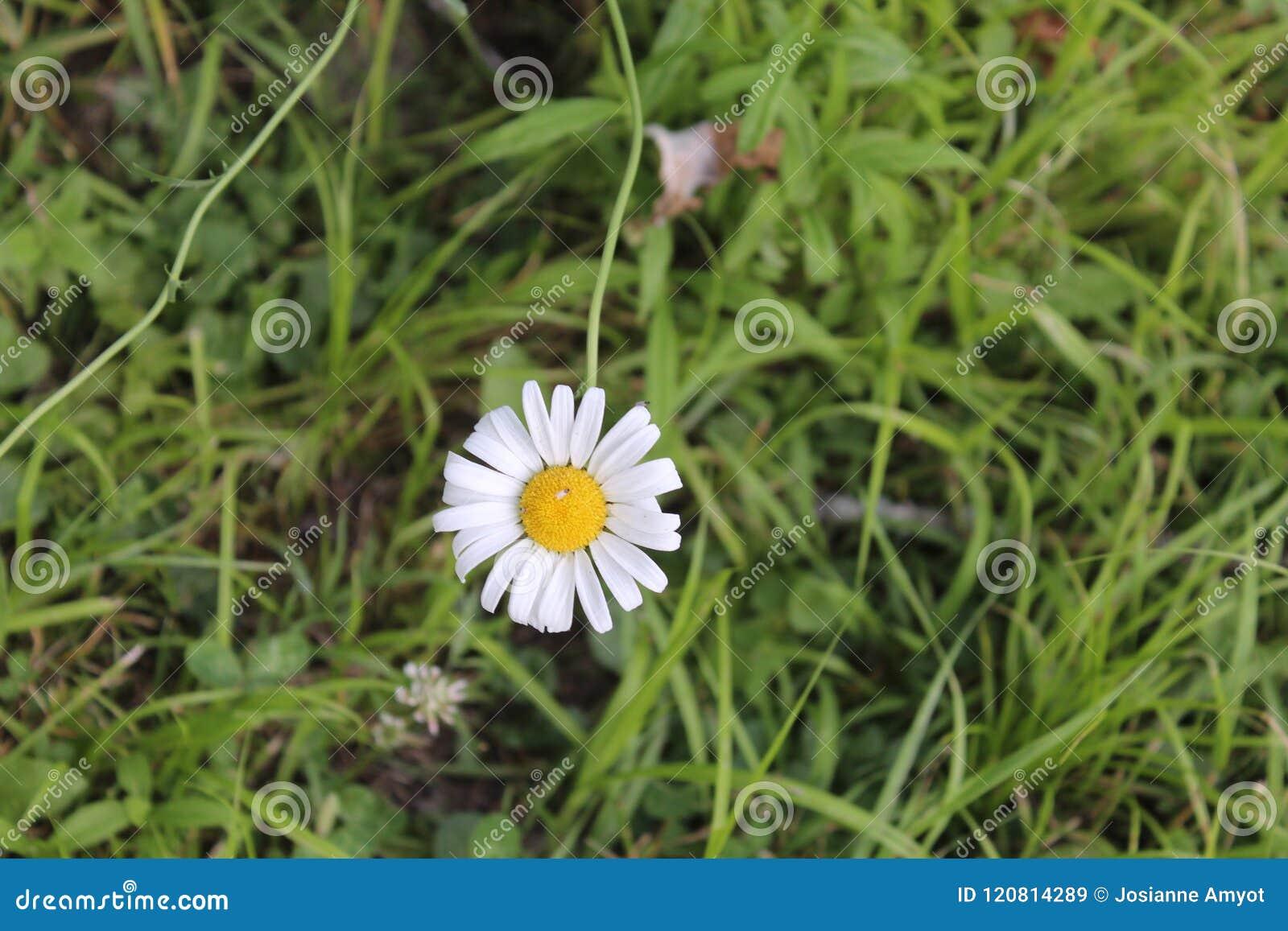 Wild Marguerite