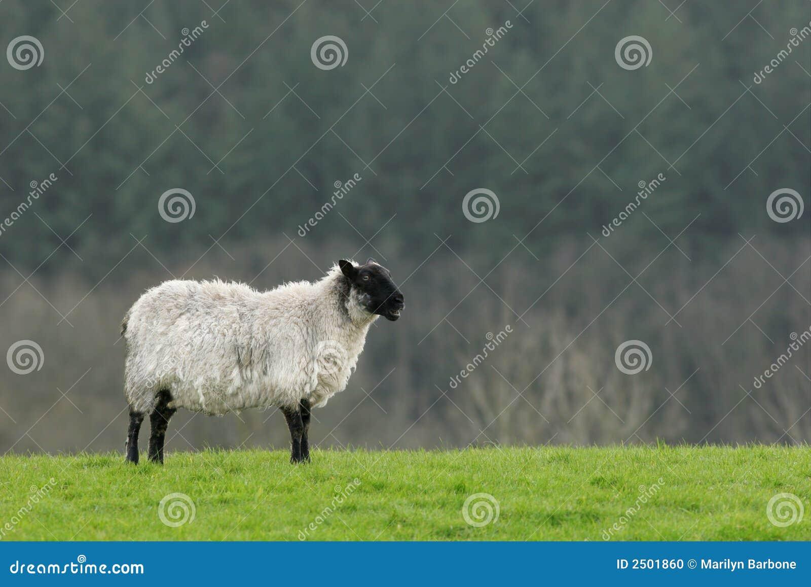 Lonesome Sheep