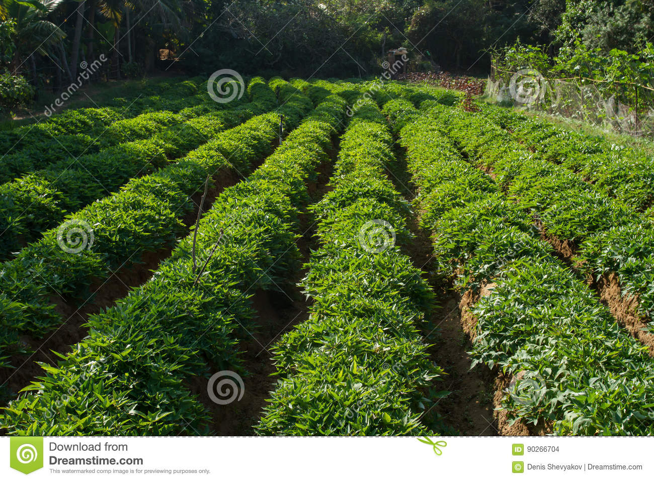 Long Beds With Sweet Potatoes Stock Photo - Image of shoots