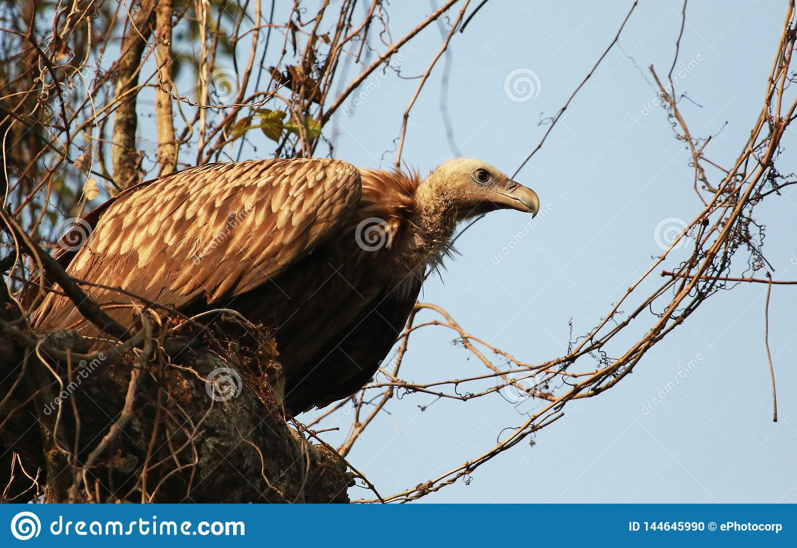 Long billed vulture, Gyps tenuirostris, Kaziranga, National park, Assam, India