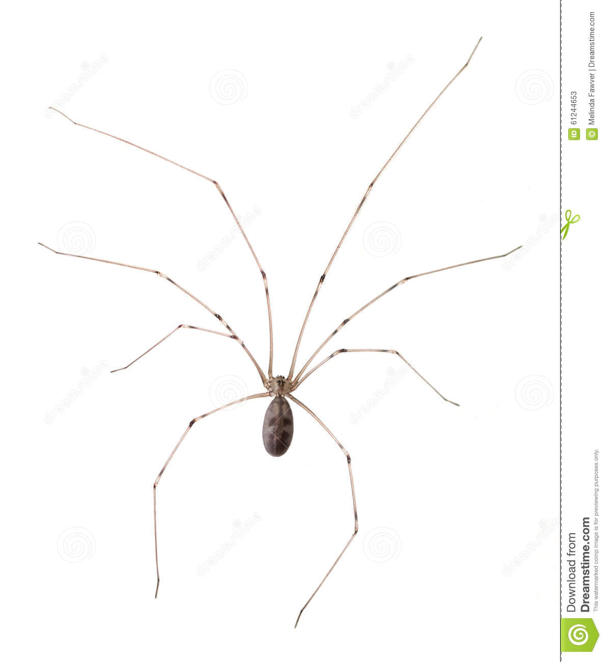 Download Long Bodied Cellar Spider Isolated Stock Image - Image of cellar, spider: 61244653