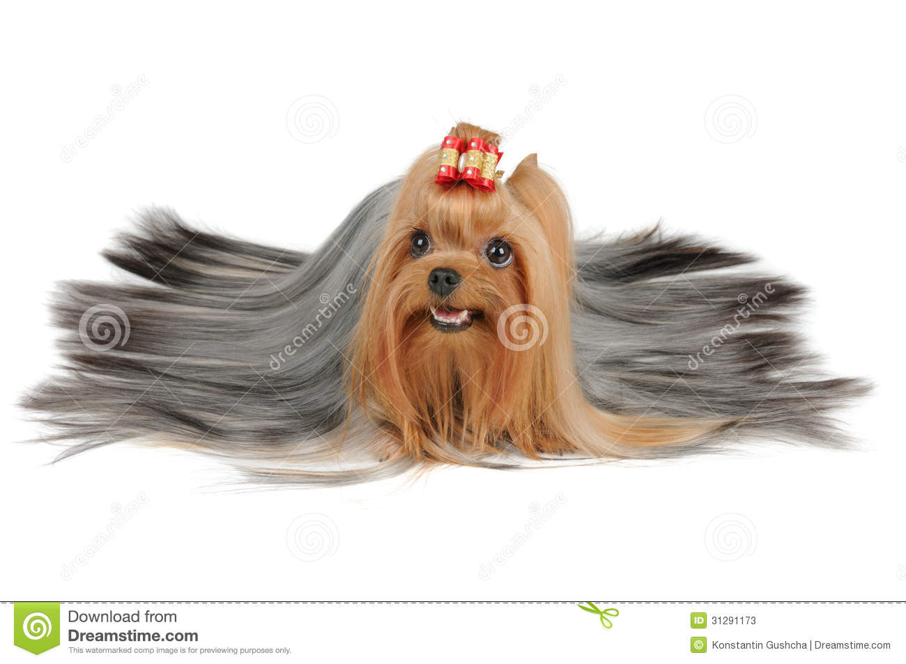 Long Coated Yorkshire Terrier With Silver Hair Stock ...