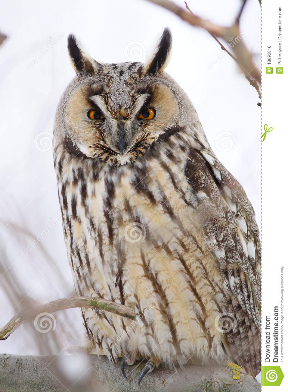Long-eared Owl Royalty Free Stock Image - Image: 18692816