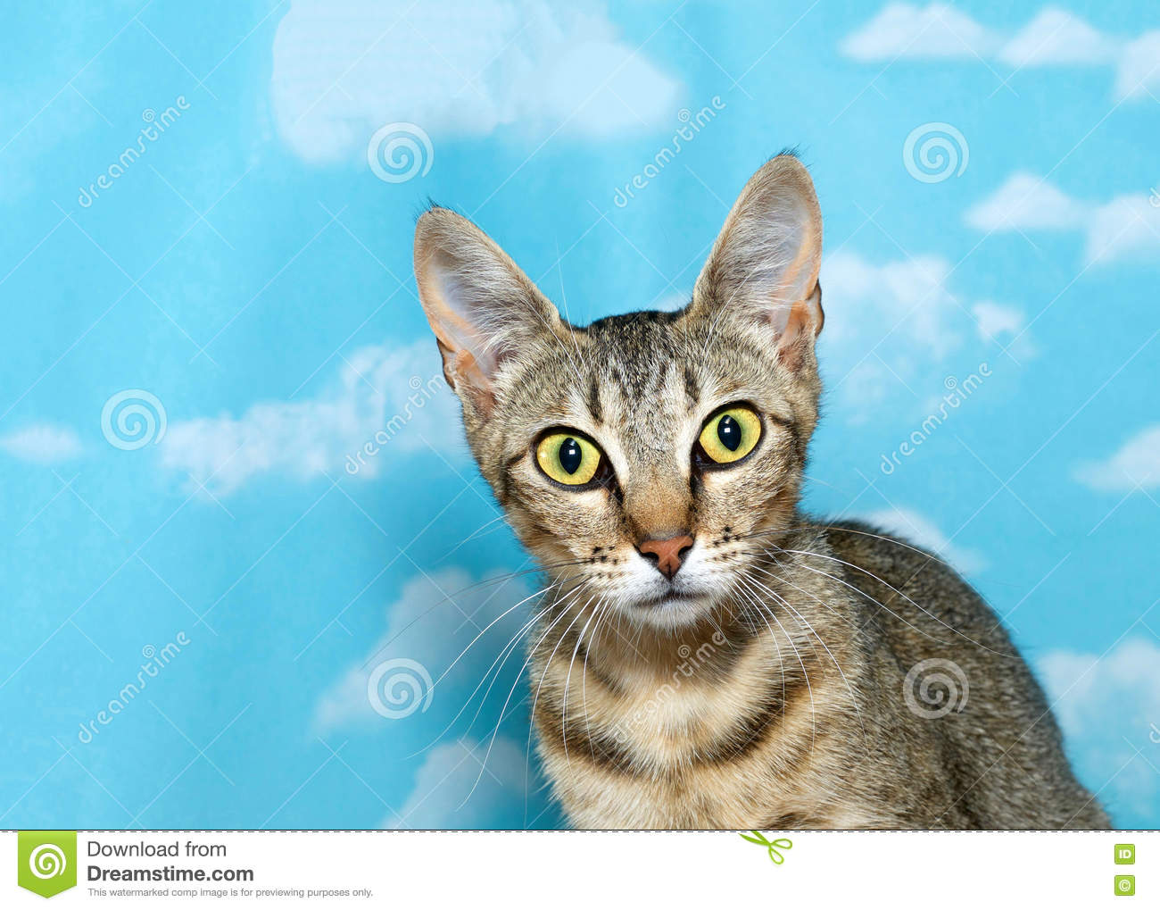 Long eared tabby kitten looking quizzically at viewer