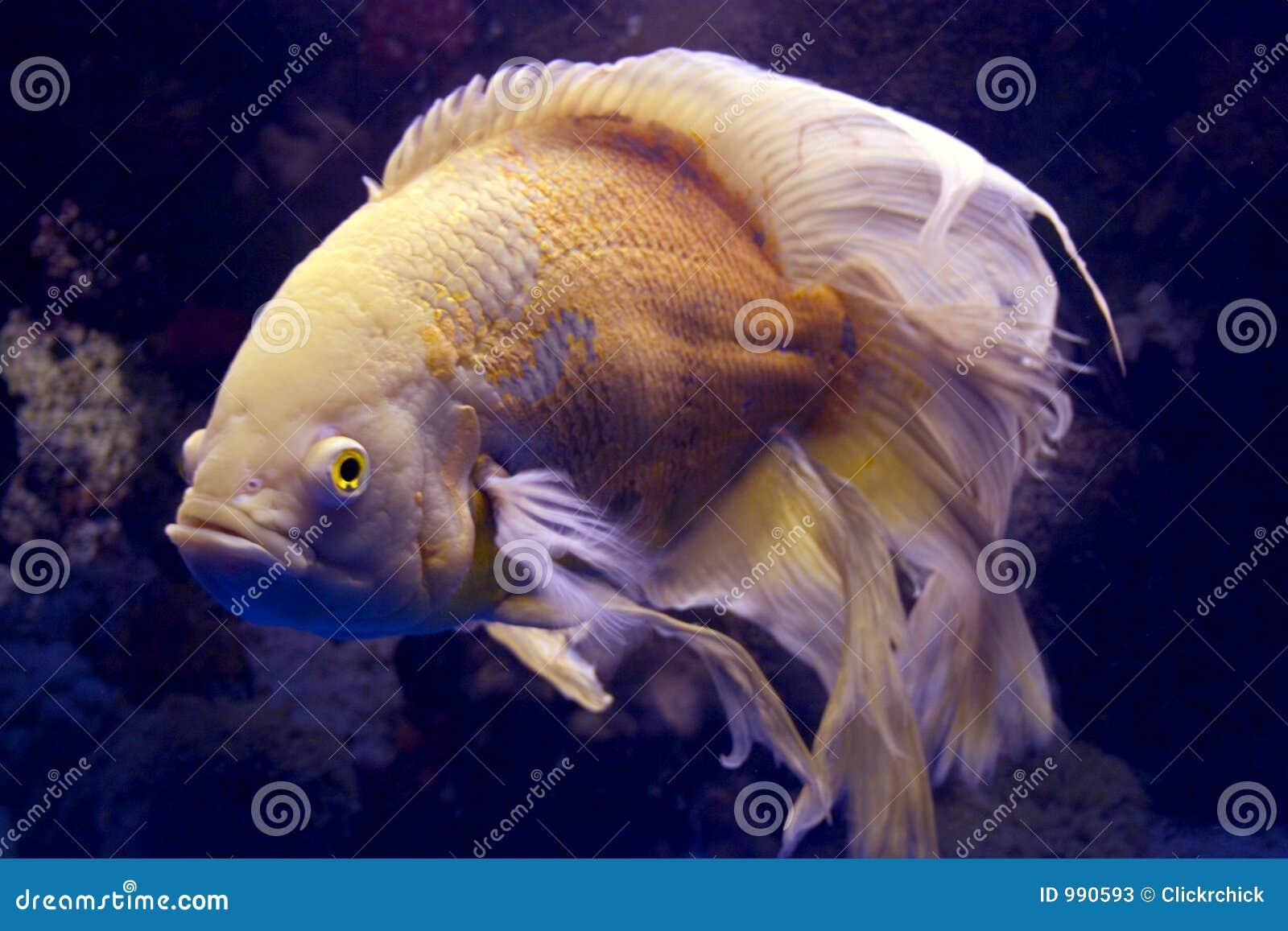 Long Finned Albino Oscar Fish Giant Oscar Fish