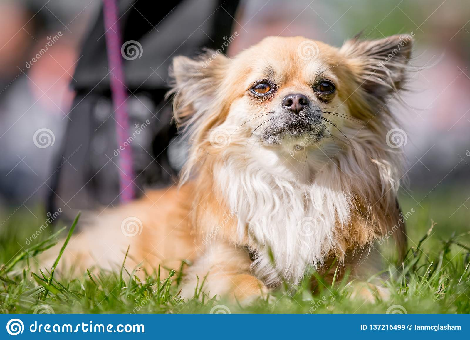 Long Fur Chihuahua Portrait With Big Ears And A Pink Tail