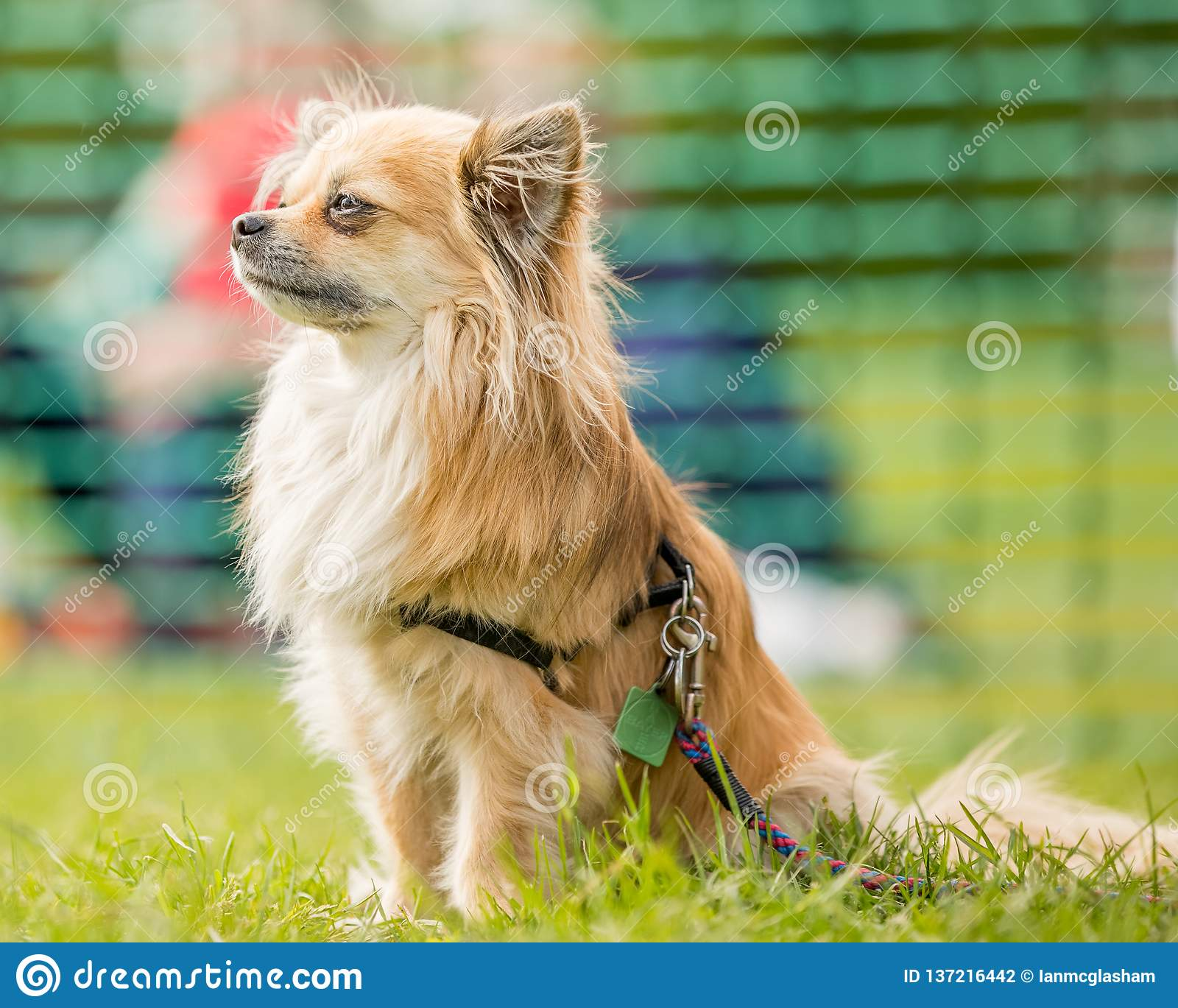 Long Fur Chihuahua Portrait With Pointed Ears Stock Photo