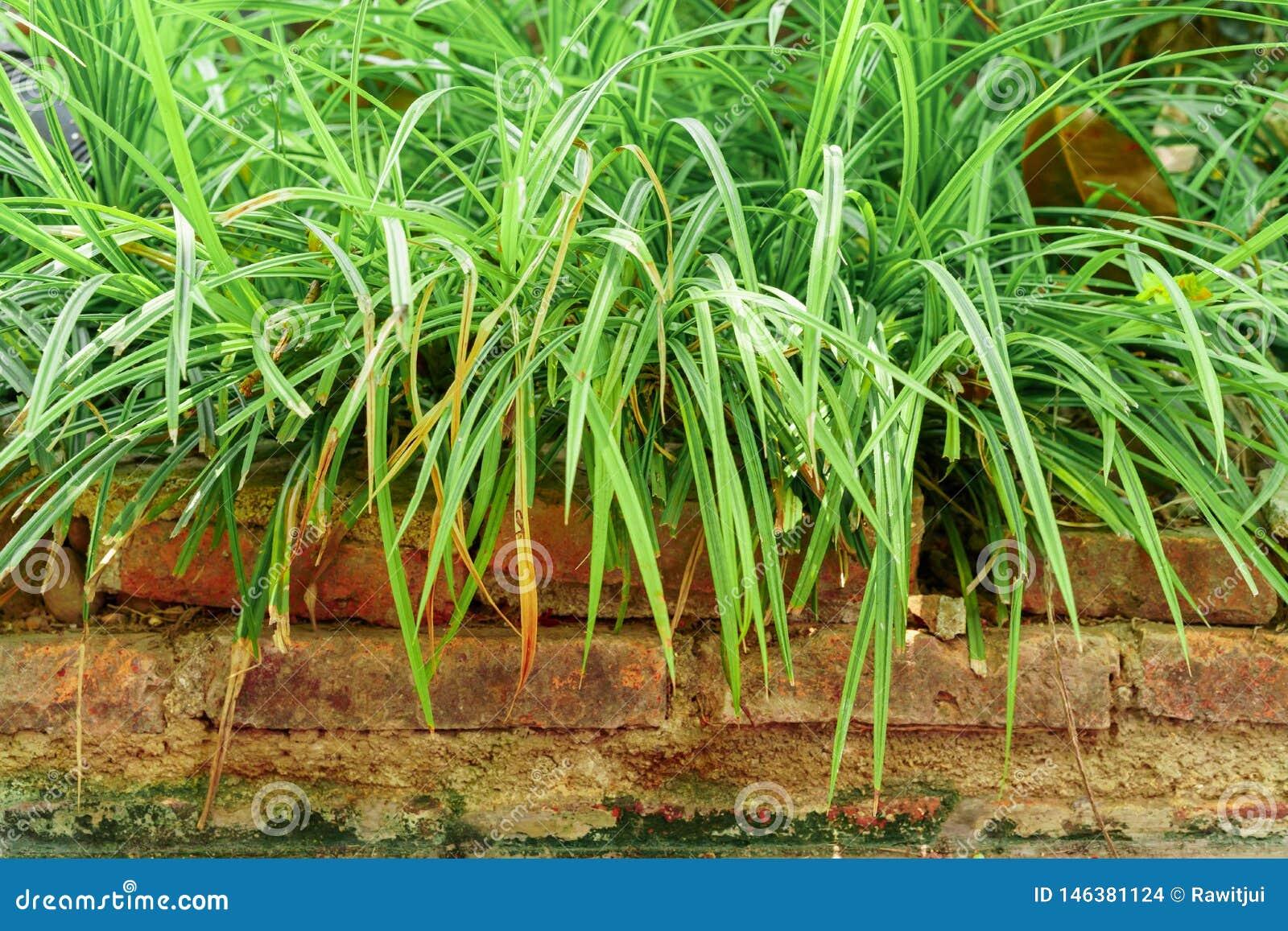Long grass on the bricks