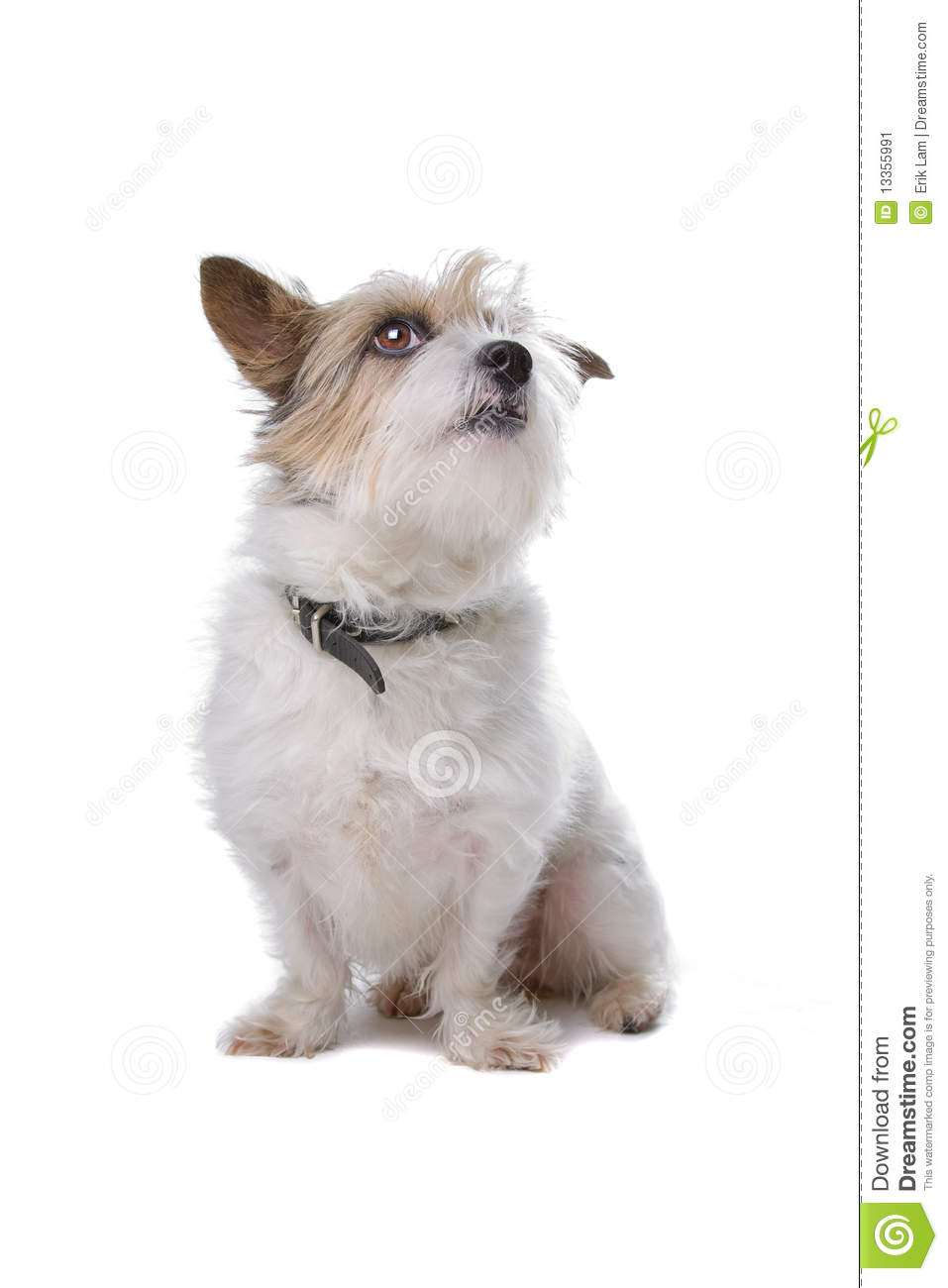Long hair jack russel isolated on white.