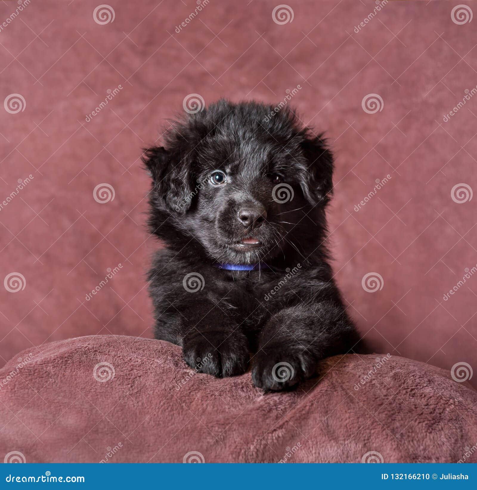Long Haired Black German Shepherd Puppy Studio Stock Photo Image Of Closeup Adorable 132166210