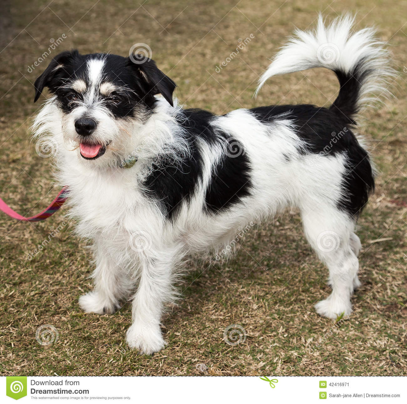 Long Hair Jack Russell Chihuahua Mix Pictures | Dog Breeds Picture