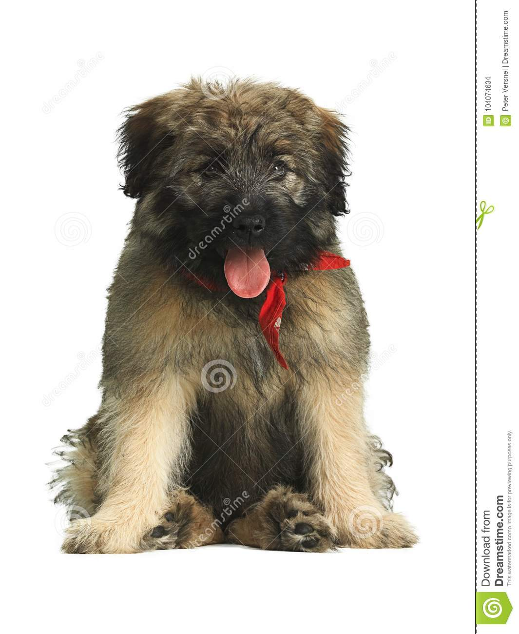 Long haired Catalan Sheepdog puppy with red scarf sitting in a funny way.