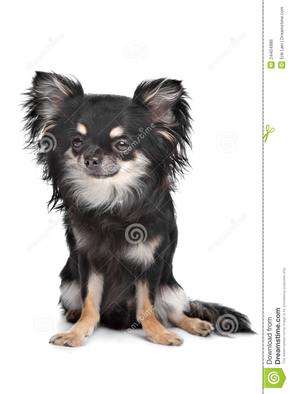 Long Haired Chihuahua Poodle Mix for Pinterest