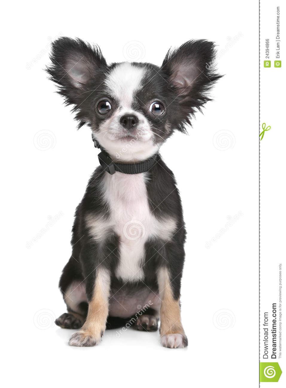 White Long Hair Chihuahua Puppies Hairstylegalleries Com