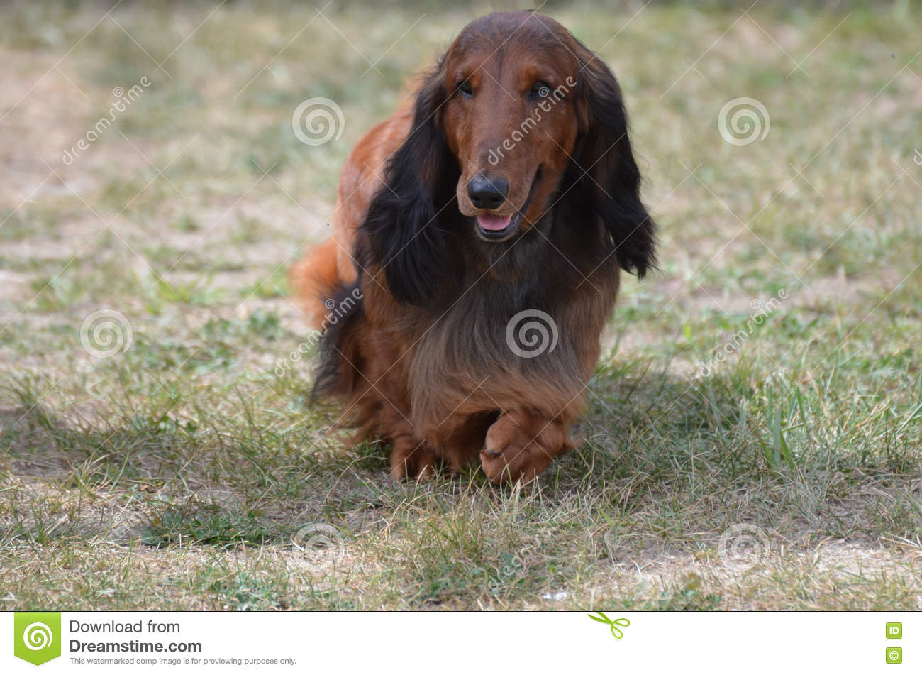 long haired dachshund dog stock photo image of teckel 74302384