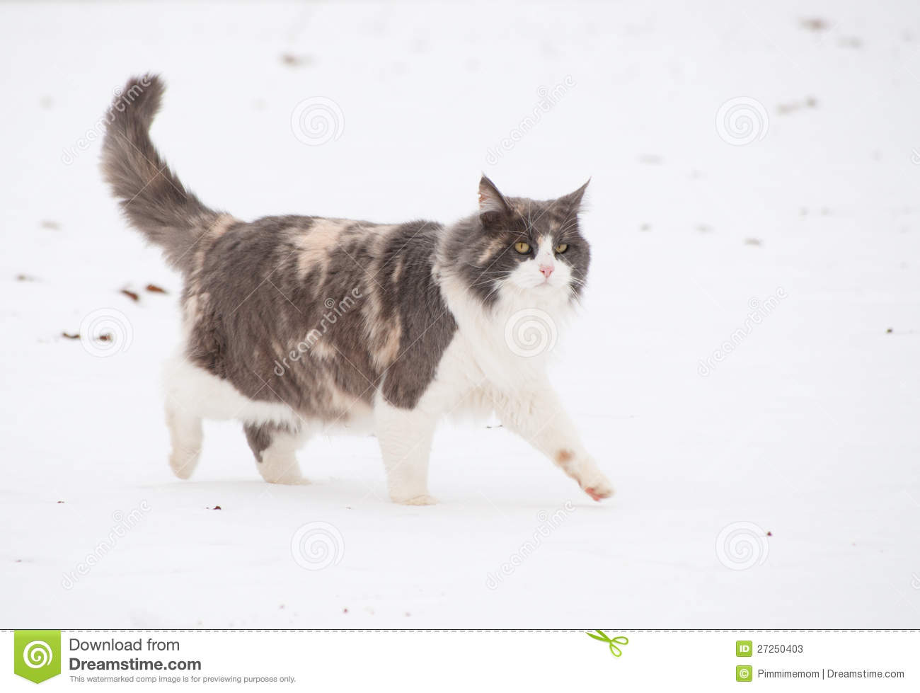 Long Haired Diluted Calico Cat Stock Image Image Of